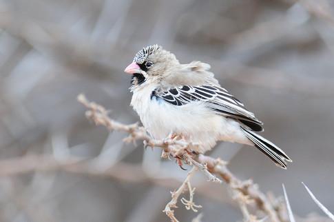 Scaly-feathered Weaver - Mokala - South