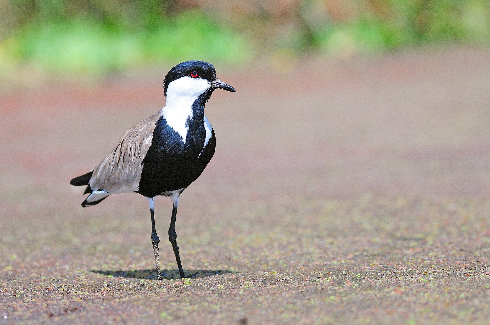 Spur-winged Lapwing - Lake Ziway - Ethio