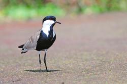Spur-winged Lapwing - Lake Ziway - Ethio