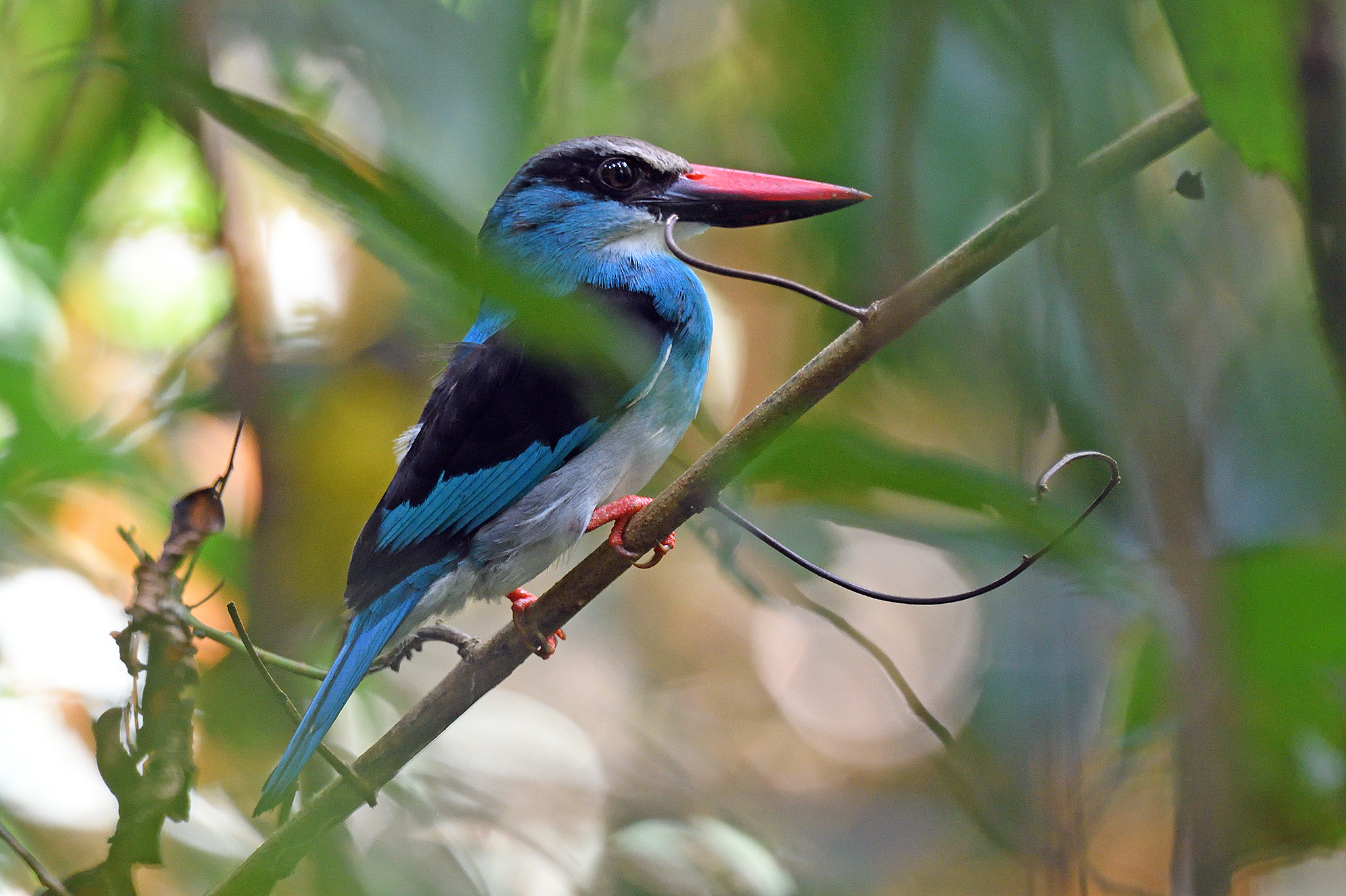 Blue-breasted Kingfisher - Nsuta - Ghana