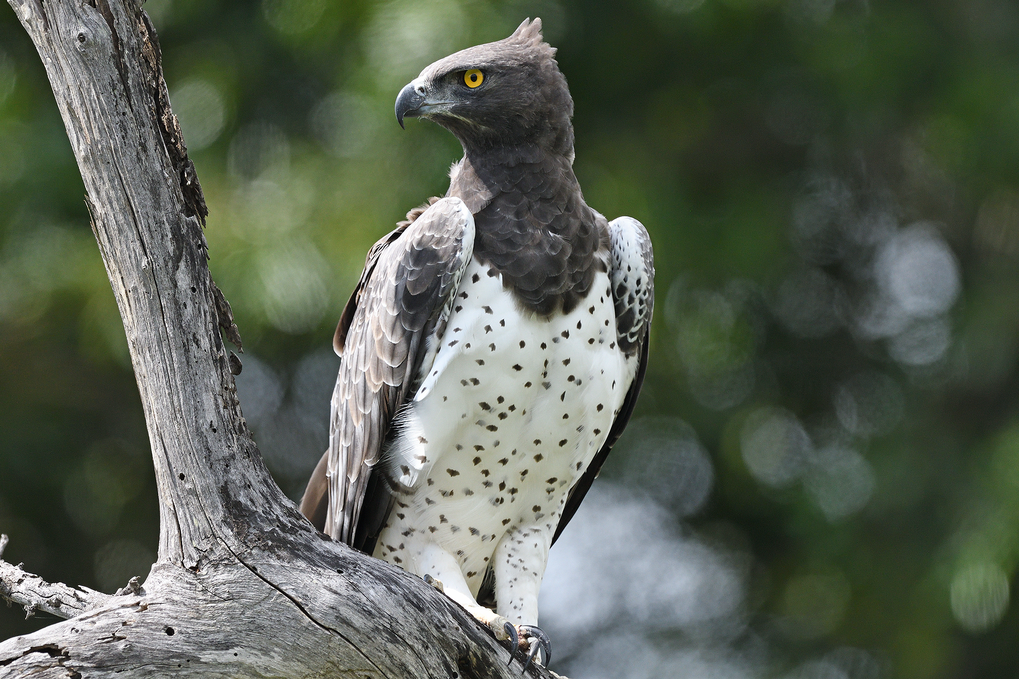 Martial Eagle - Kruger - South Africa -