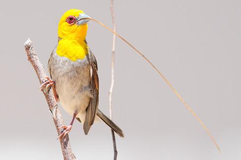 Sakalava Weaver - Ifaty - Madagascar - R