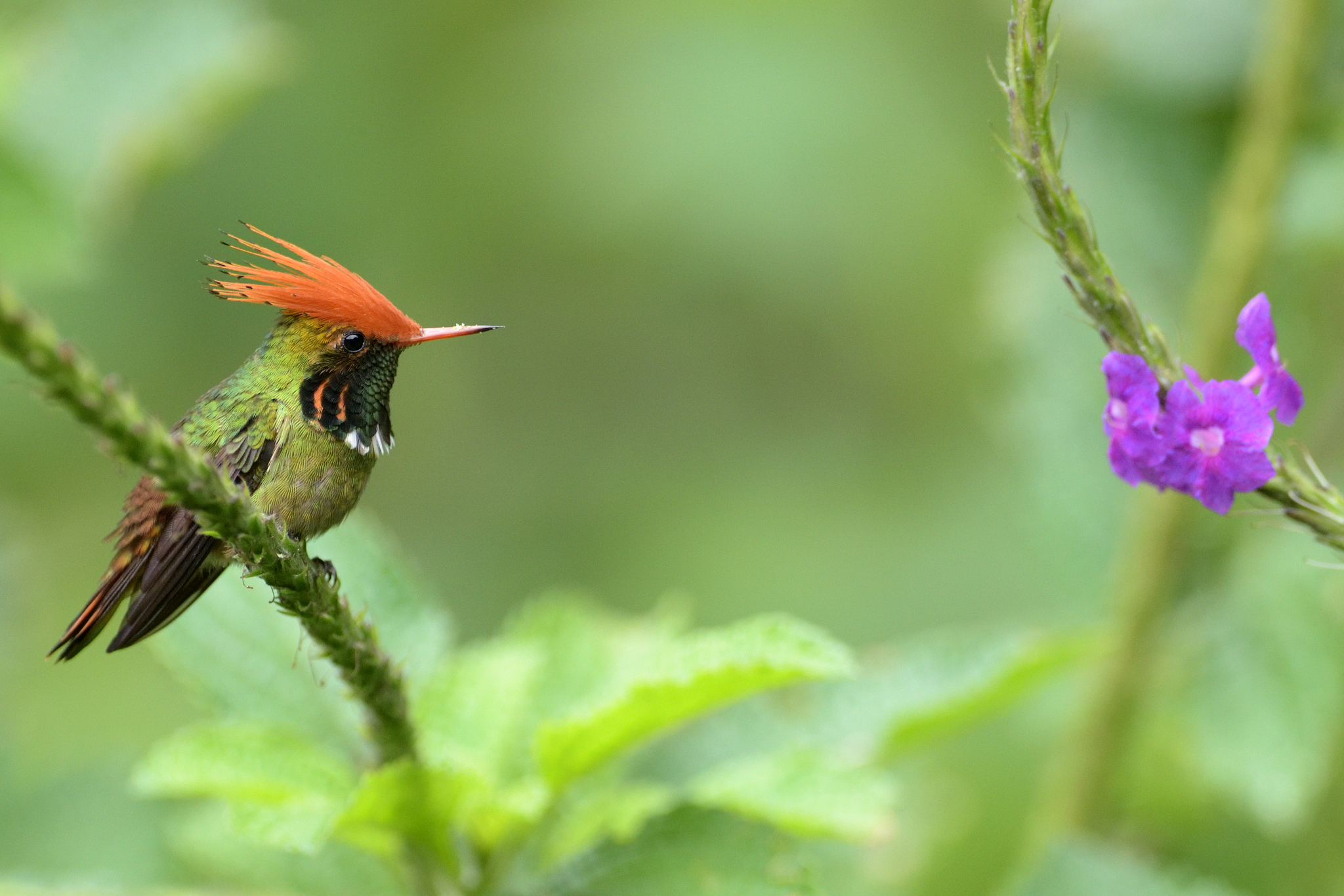 Rufous-crested Coquette - Arena Blanca -
