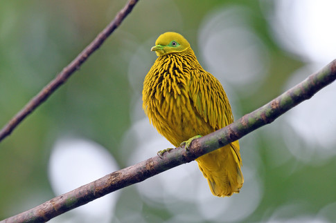 Golden Fruit Dove - Viti Levu - Fiji - R