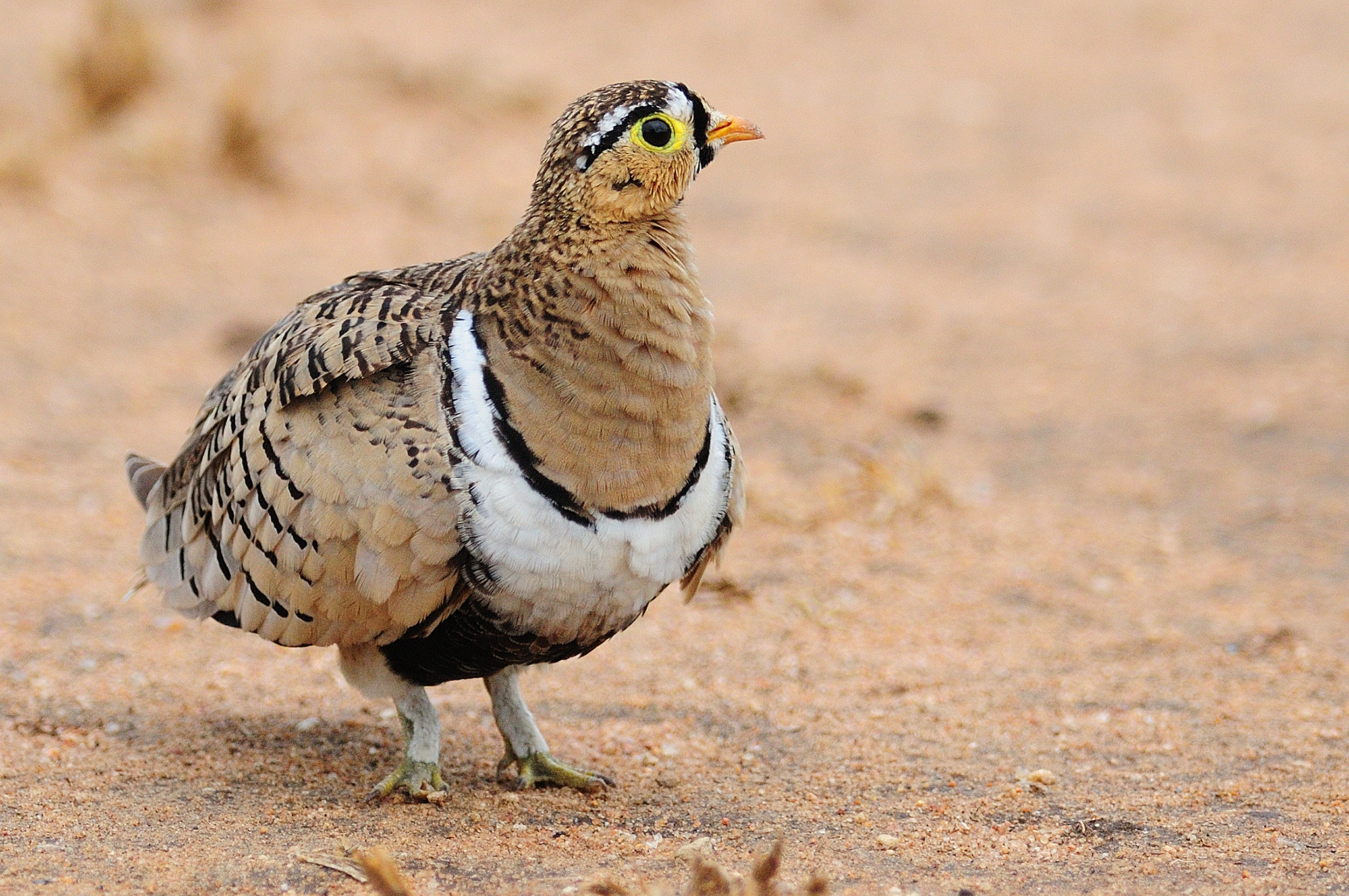 Black-faced Sandgrouse - Tarangire - Tan
