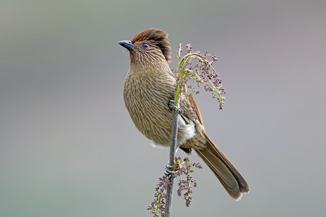 Striated Laughingthrush - Bhutan - Rich