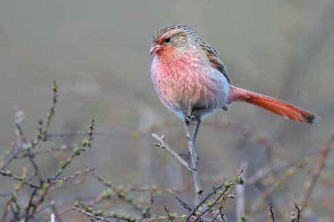 Przevalski's Finch - Sichuan - China - R