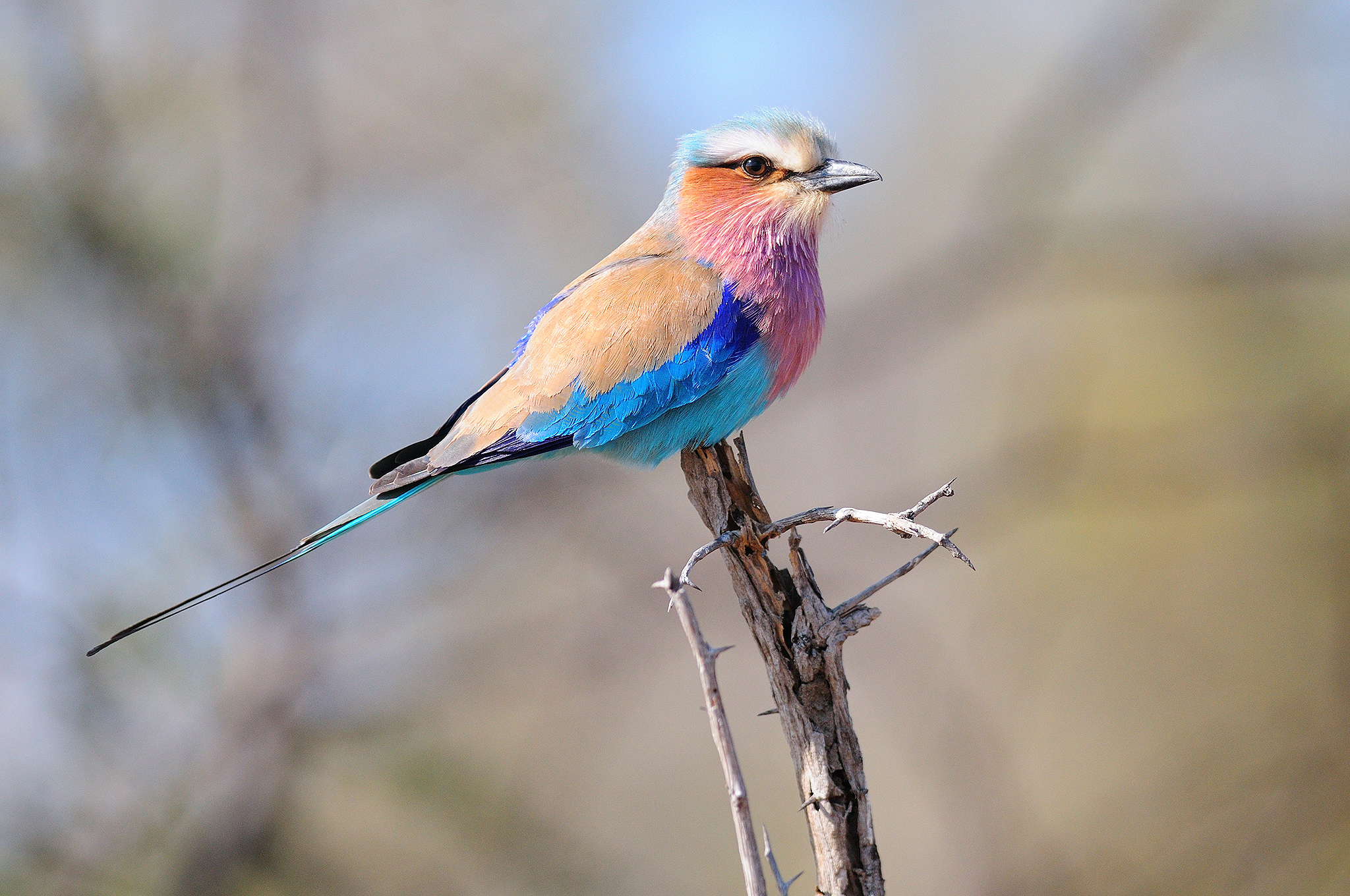 Lilac-breasted Roller - Kruger - South A