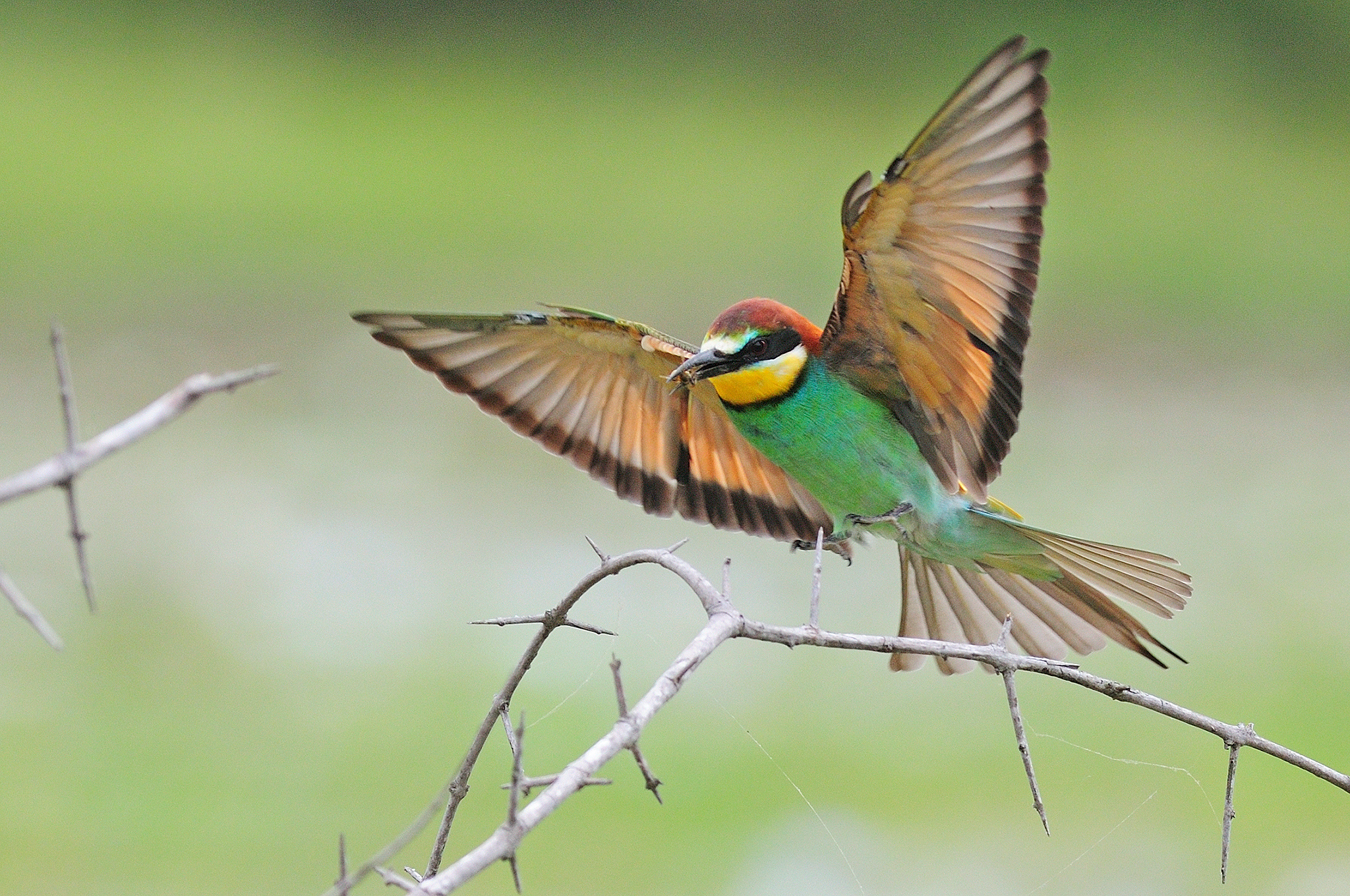 European Bee-eater - Kruger - South Afri