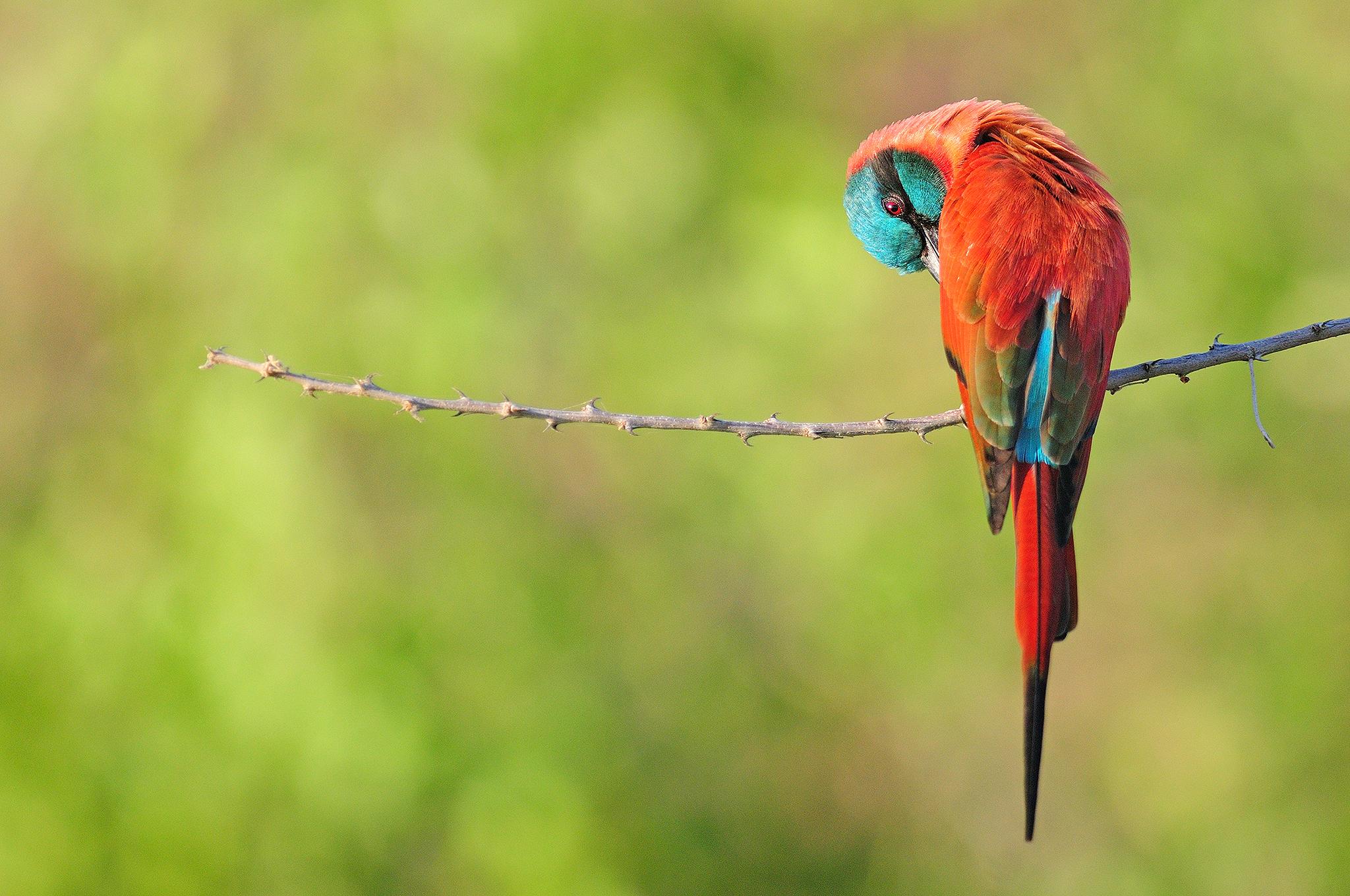 Northern Carmine Bee-eater - Bilen - Eth