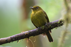 Sapayoa -  - Panama - Rich Lindie DSC444
