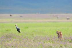 Cheetah - Ngorongoro Crater - Tanzania -