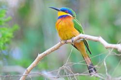Blue-breasted Bee-eater - Lake Awassa -