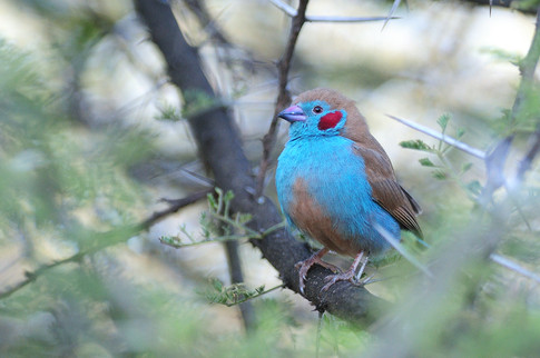 Red-cheeked Cordon-bleu - Bishangari - E