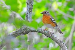 Orange Ground Thrush - Benvie - South Af