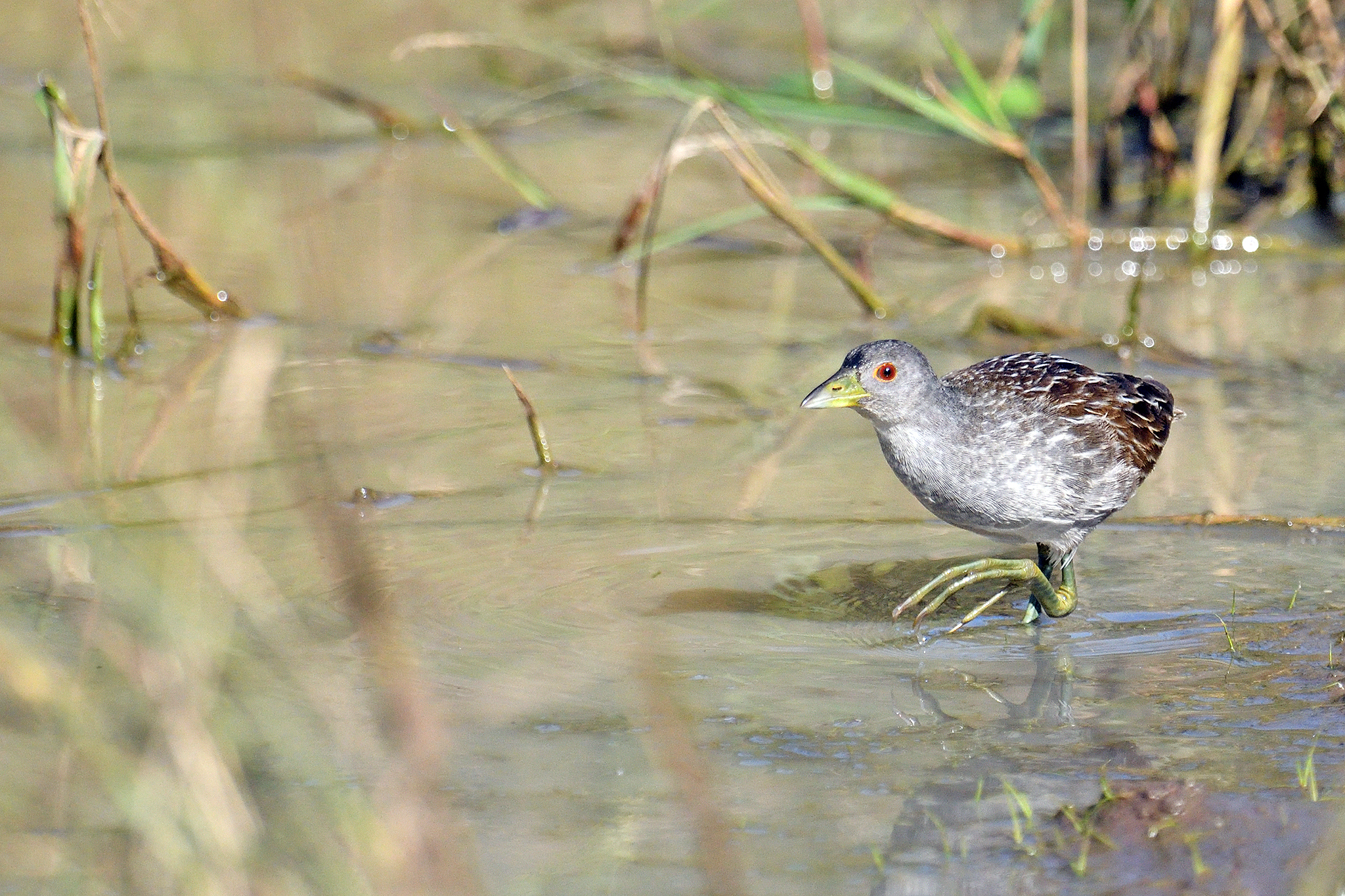 Striped Crake - Hluhluwe - South Africa