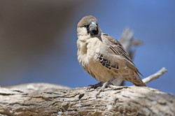 Sociable Weaver - Kgalagadi - South Afri