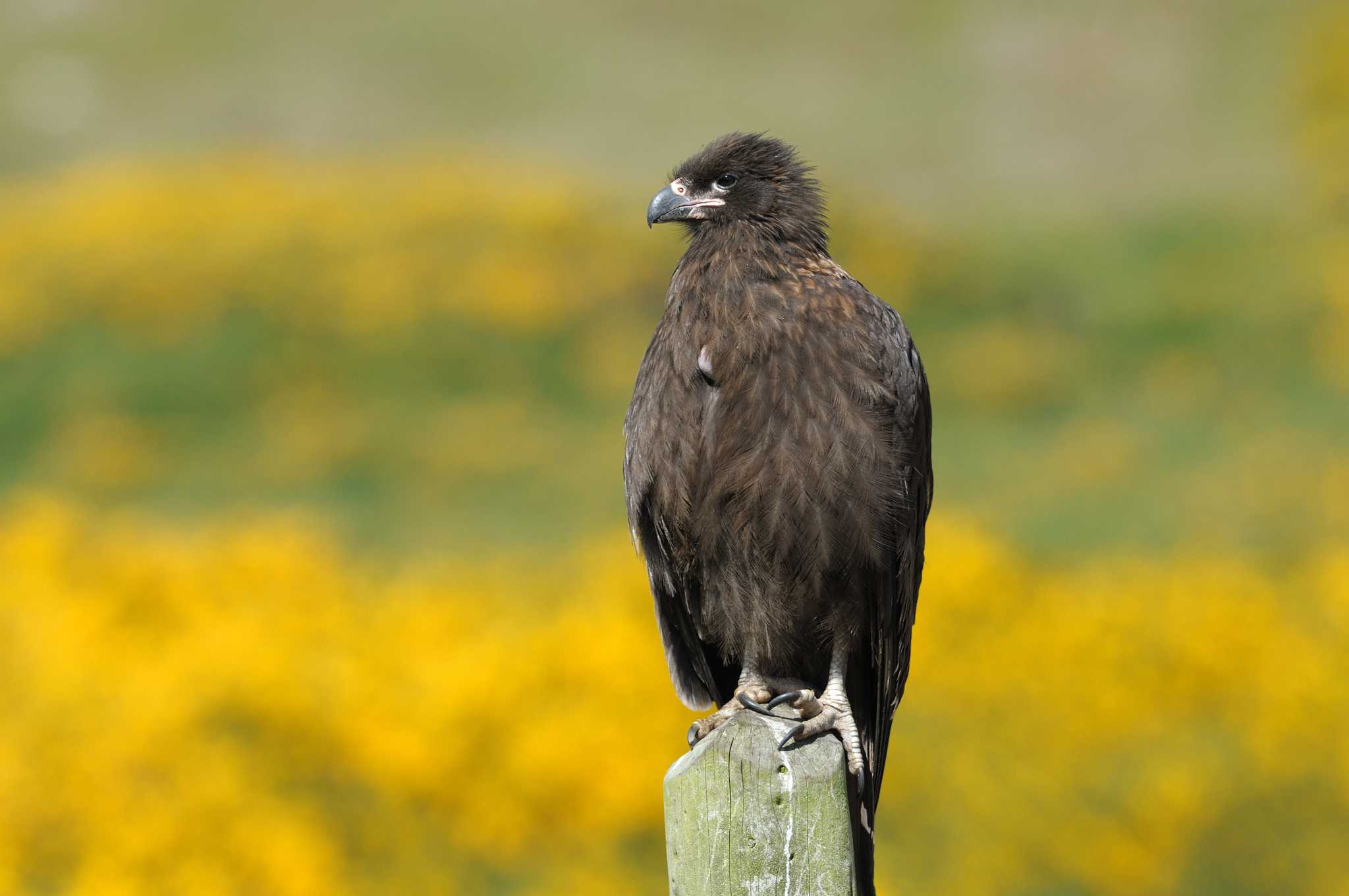 Striated Caracara (young) - Carcass Isla
