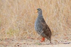 Natal Spurfowl - Kruger - South Africa -