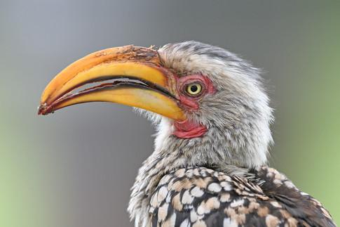 Southern Yellow-billed Hornbill - Kruger