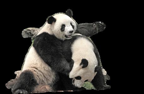 Giant panda bears (Ailuropoda Melanoleuc