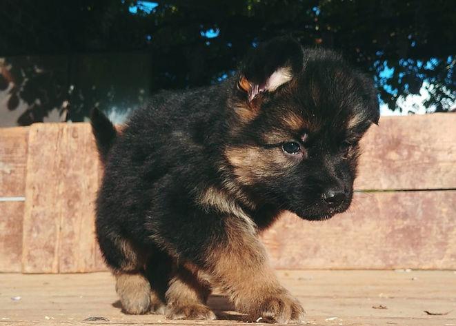 cucciolo di cane pastore tedesco. german