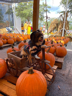 pumpkin-patch-dogs