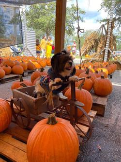 pumpkin-patch-dogs