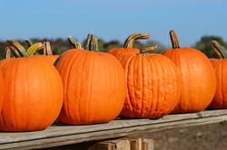 florida pumpkins