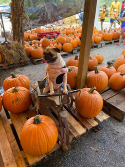 dogs-at-pumpkin-towne