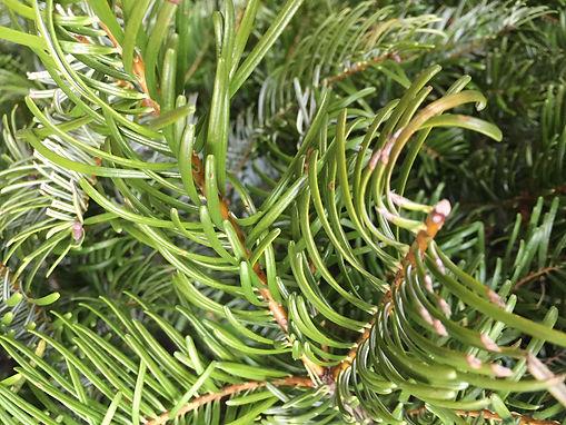 douglas fir tree closeup