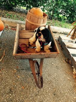 Fall doggy photos