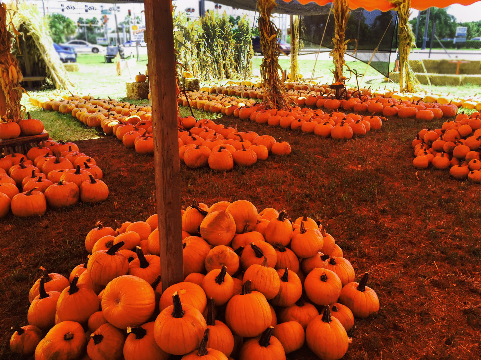 So Many Pumpkins!