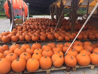 wellington rows of pumpkins