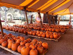 rows-pumpkins