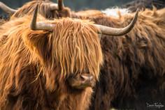 HighlandCow_Beecraigs_202103065.jpg