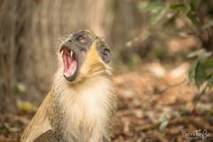 Green vervet monkey