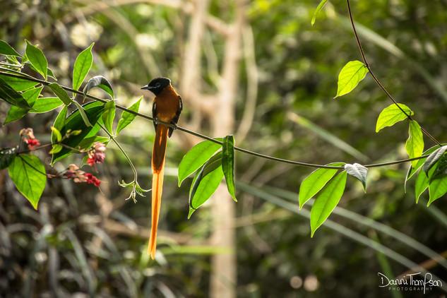 Red-bellied paradise flycatcher (male)