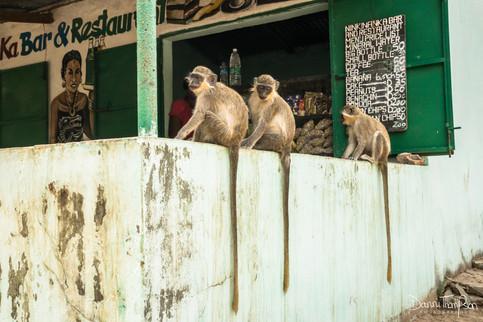 Green vervet monkeys