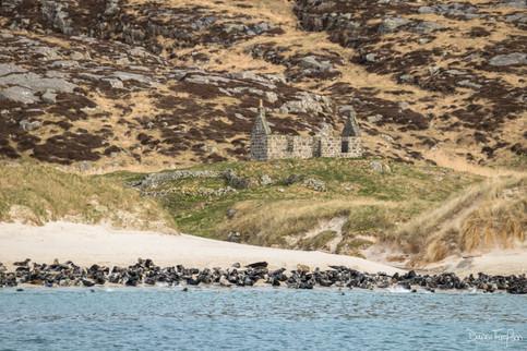 Grey seals on Mingulay