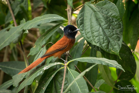 Red-bellied paradise flycatcher (female)