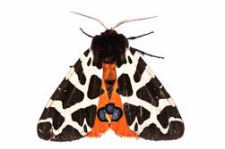 Moth, garden tiger.jpg