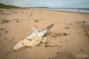 Beached-bird survey