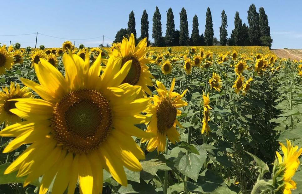 Maison_Sunflowers.jpg