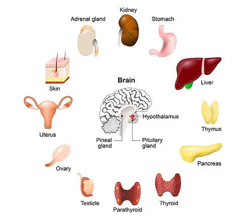 59000606-anatomie-humaine-le-système-end