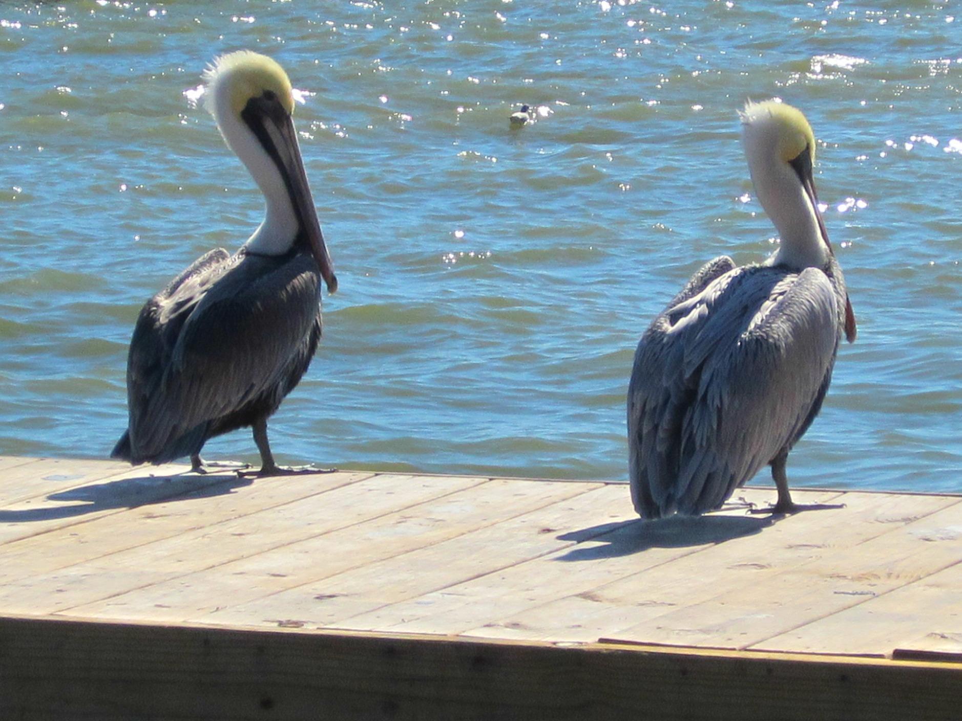 Area - pelicans