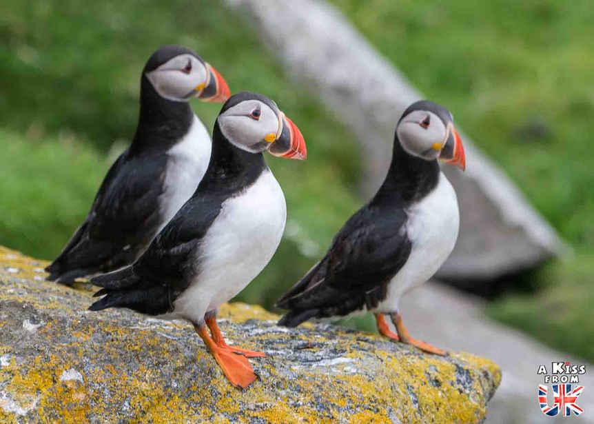 Macareux Moines ou puffins sur St Kilda - Visiter l'archipel de St Kilda en Ecosse - Que voir sur l'île de St Kilda en Ecosse ? - A Kiss from UK, guide et blog voyage sur l'Ecosse.
