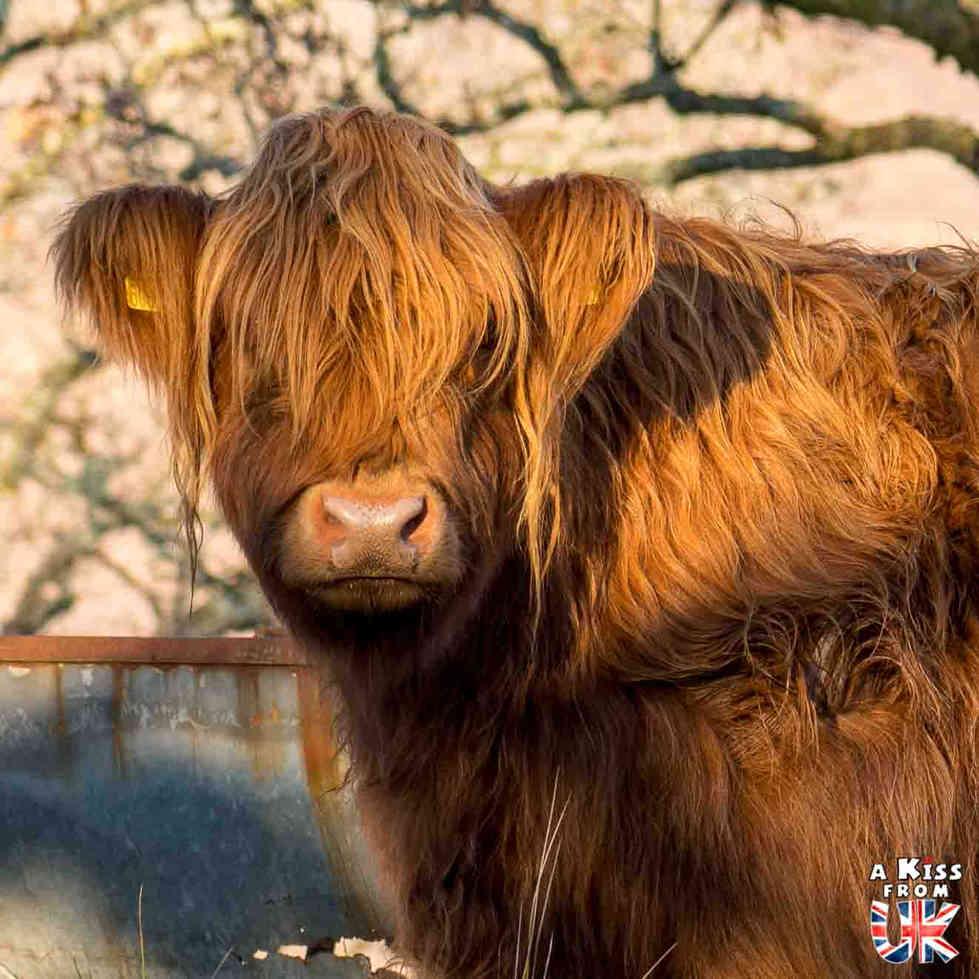 Vaches écossaises au Loch Awe en Ecosse - 5 endroits où voir des vaches écossaises à coup sûr - Découvrez les mielleurs lieux pour trouver des vaches Highlands pendant votre voyage en Ecosse - A Kiss from UK le blog et guide du voyage en Grande-Bretagne