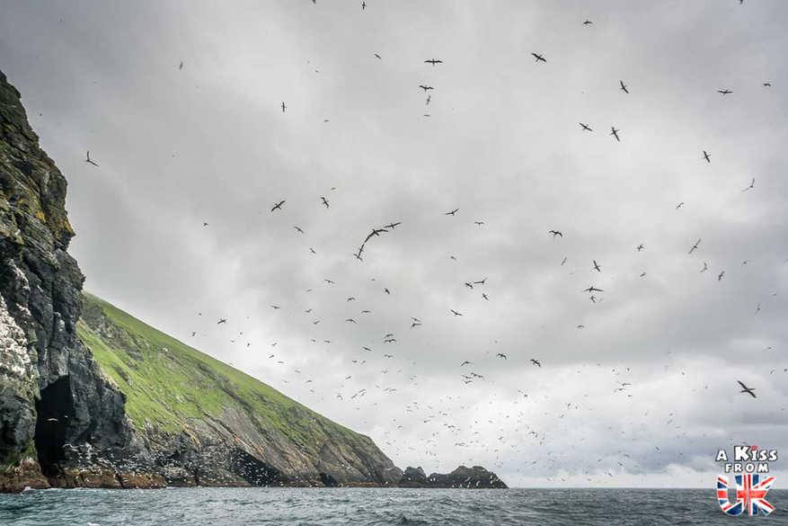 Fous de Bassan sur St Kilda - Visiter l'archipel de St Kilda en Ecosse - Que voir sur l'île de St Kilda en Ecosse ? - A Kiss from UK, guide et blog voyage sur l'Ecosse.