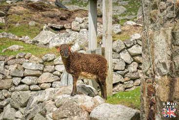 Mouton de Soay - Visiter l'archipel de St Kilda en Ecosse - Que voir sur l'île de St Kilda en Ecosse ? - A Kiss from UK, guide et blog voyage sur l'Ecosse.